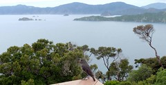 New Zealand South Island robin - Motuara Island (Maureen Pierre) Tags: newzealand southisland robin marlboroughsounds motuaraisland refuge conservation endemic native bird small passerine