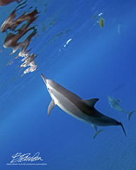 Reflect (bodiver) Tags: hawaii hookena blue ocean reflection wideangle ambientlight freediving fins dolphins naia nature