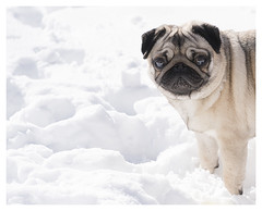 Still not convinced... (theimagebusiness) Tags: theimagebusinesscouk theimagebusiness scotland scottishphotographers photography photographersinwestlothian pug pugly puglet puglybetty dog canine ilovemydog squishedface animal cute eyes fun humour naturallight outdoors outside pet uk weather snow cold expression face coldfeet paws eyecontact