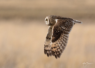 Short-eared Owl (male)