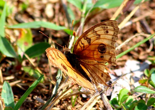 IMG_1750/Thailand/Koh Samui Island/Junonia Almana Almana/ femelle
