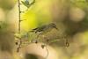 Cigüita Tigrina, Cape May Warbler  (Setophaga tigrina) (Gogolac) Tags: 2018 aves birdphotography birdie birds canon7dmii capemaywarbler cigüitatigrina fauna location setophagatigrina year birdspot birdingrd birdsspotters republicadominicana