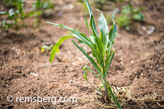 Young corn crop sprouting through the earth in Livingstone, Zambia (Remsberg Photos) Tags: zambia africa corn crop growth grain soil earth maize food cerealgrain sprout staplefood leafy green mielie southafrica livingstone