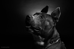 Tommy and Sweetie (lesandsunnie) Tags: 2018 5dmkii bw blackwhite canon dog doggy enstein640s pitbull puppy studio sweetie tamon2470f28 tommy