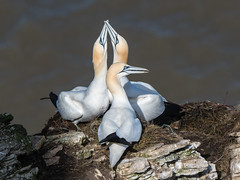 Two's company... (Maria-H) Tags: gannet morusbassanus nesting rspb bemptoncliffs yorkshire uk olympus omdem1markii panasonic 100400