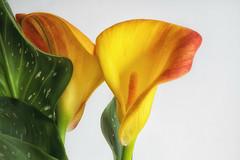 just the two of us / nur wir zwei (cesa lojosa) Tags: calla blumen flowers cesalojosa