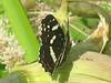 Araschnia levana f. prorsa - The Map (summer brood) - Пестрокрыльница изменчивая (летняя форма) (Cossus) Tags: araschnia nymphalidae nymphalinae 2006 анциферово