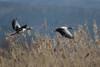 Alarmed (markus_langlotz) Tags: greygoose graugans geese grey grau gänse vogel flug flight bird animal tier wildlife