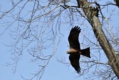 milan1 (Carahiah) Tags: milan milannoir saintecroix parcanimalierdesaintecroix oiseau envol vol planer bird chasseur plumes ailes