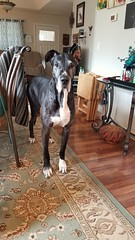 13.52.2018 Seriously - the ear! 😁😁 (kmmorgan1977) Tags: 52wfd18 52weeksfordogs 52wfd kkzsapachevegasrose greatdane dane dog ear akc akcgreatdane