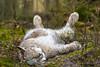 Luchs - Mittagsschlaf (Der Schnellzeichner.) Tags: bilsteintal luchs lynx