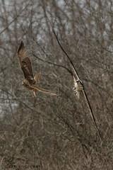Red-tailed Hawk VS Osprey. (Estrada77) Tags: redtailedhawk osprey raptors birdsofprey distinguishedraptors birds birding wildlife nikond500200500mm spring2018 inflight illinois