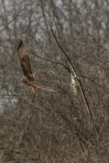 Red-tailed Hawk VS Osprey.