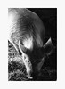 Deer Hallow Farm (bnishimoto) Tags: ranchosanantonio bayarea fujifilm fuji xpro2 acros bw monochrome losgatos deerhollowfarm 1855mm hay animal livestock