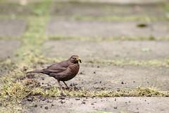 Worm, R.I.P. (R.D. Gallardo) Tags: worm rip bird pajaro lombriz canon eos 6d raw tamron 70200 f28 jardin garden