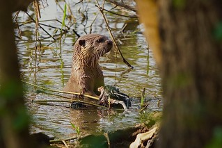 Smooth-coated Otter (endangered) with unusual prey