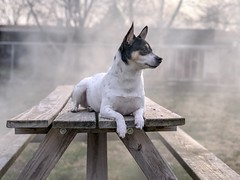 Scout 15/52 (block109) Tags: dog smoke ratterrier 52weeksfordogs