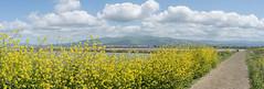 My Back View (tourtrophy) Tags: alviso alvisomarinacountypark missionpeak samyang fe 35mm f28 samyangfe35mmf28 sonya7rii mustardflowers wildflowers