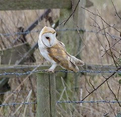 Barn Owl (kc02photos) Tags: barnowl tytoalba eldernell cambridgeshire england uk birdphotography