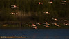 Laguna_Fuentepiedra_Flamencos_0006 (byJMdF) Tags: 2010 animales año flamencos fuentepiedra laguna lugares malaga naturaleza canon eos c5d mk ii aficionado amateur lightroom documental foto photo photography fotografia color reserva natural fuente piedra humedal antequera málaga andalucia andalusia phoenicopterus roseus flamenco nature reserve aves ecología ecologic agua de naturephotography