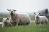 Lamb (PaulHoo) Tags: lamb sheep nature botshol animal dof landscape 2018 spring bokeh grass