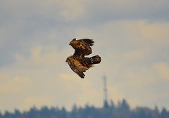 Ready to Swoop (Neal D) Tags: bc abbotsford matsquitrail bird eagle baldeagle haliaeetusleucocephalus