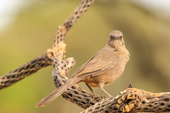 Curved-billed Thrasher with the evil eye for the 400mm cyclops (gilamonster8) Tags: curvedbilled thrasher bird animal arizona vail wing cactus cholla wood perch perched green garden ngc flickrelite sky stick explore explored eos ef400mm56l eyes desert common canon view tail talons tree twig bokeh beyondbokeh beak brown branch 5dmarkiv