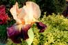 cream and purple iris 1 (Martin LaBar) Tags: southcarolina pickenscounty iris iridaceae lirio flower
