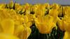 Tulips ... (Alex Verweij) Tags: explore yellow geel tulp tulpen tulips almere alexverweij fujifilm xt20 flevopolder fietsen