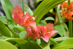 Bougainvillea (red orange) (bozyhan1105) Tags: bougainvillea red orange cabanatuan nueva ecija philippines flowers nature plant eco