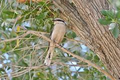 Mauryan Gray Shrikeطائر الحمامي العربي (RAMI SABER DAHMOUS) Tags: rami nikon d500 lens70300vr mauryangrayshrikeطائرالحماميالعربي grayshrike shrike