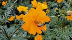 Abelha européia africanizada (série com 3 fotos) (Parchen) Tags: abelha abelhaeuropéia abelhaeuropéiaafricanizada flor flores amarela amarelas polinização polinizando silvestre foto fotografia imagem registro natural natureza bela beleza singela insetos parchen carlosparchen