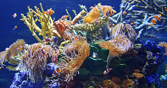 Clownfish (Adventurer Dustin Holmes) Tags: 2018 corral sealife aquarium wondersofwildlife saltwateraquarium oceanlife animals animal ocellaris falseperculaclownfish clownanemonefish fish clownfish amphiprionocellaris animalia commonclownfish chordata actinopterygii perciformes pomacentridae amphiprioninae amphiprion