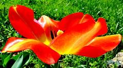 Perspektywa tulipan. (andrzejskałuba) Tags: polska poland pieszyce dolnyśląsk silesia sudety europe panasoniclumixfz200 roślina plant kwiat flower tulipan tulip czerwony red żółty yellow zieleń green garden ogród trawa grass macro natura nature color beautiful