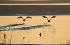 Take-off (Jaedde & Sis) Tags: mute swans two behind explore storybookwinner