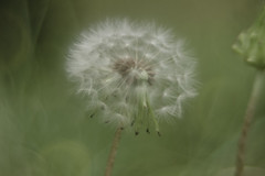 Taraxacum Laevigatum (yamagenov) Tags: dandelion taraxacum laevigatum plant macro takumar manualfocus
