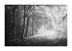 Knettishall Heath 17 Sept 2017 (Matthew Dartford) Tags: eastanglia matthewdartford atmospheric backlight backlit bokeh branch breakinglight depth england fog foggy forest landscape mist misty morning norfolk tree trees trr trunk woodland woods