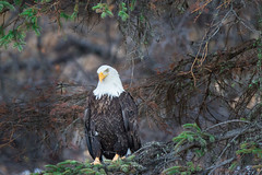 Bald eagle (spwasilla) Tags: spruce birdofprey bird baldeagle eagle