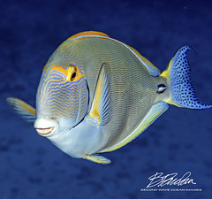 Eyestripe Surgeonfish (bodiver) Tags: hawaii scuba surgeonfish fins fish macro blue