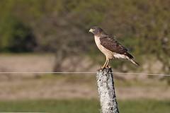 Taguató (7sombreros) Tags: birds avesenlibertad birding birwatching naturewatcher simplelife deepnature wildlife