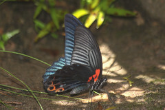 Papilio memnon agenor (Great Mormon) - male (GeeC) Tags: animalia arthropoda butterfliesmoths cambodia greatmormon insecta kohkongprovince lepidoptera nature papilio papiliomemnonagenor papilionidae papilionoidea tatai truebutterflies