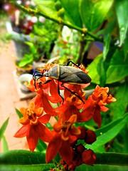 Insect On Milkweed Flowers <<>> IMG_0619 - Version 2 (Chic Bee) Tags: botany anatomy flower structure detailed milkweed insect beetle macro tucson arizona usa america americansouthwest southwesternusa