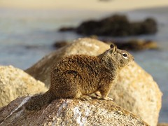 Ground Squirrel (Larry Myhre) Tags: groundsquirrel animal rodent pacificgrove california