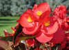 Begonias (ETFoster) Tags: begonias red flowers eric foster meadow nebraska