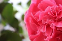 Pink Rush (zachdavies99) Tags: pink flower flowers nature greenhouse green camellia nottingham nottinghamshire wollaton canon camera dslr bold bright