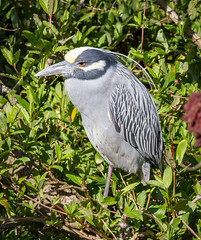 The Grouch (tresed47) Tags: 2018 201804apr 20180418newjerseybirds april birds canon7d content folder heron newjersey oceancity peterscamera petersphotos places season spring takenby us yellowcrownednightheron