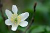 Anthères (Phil du Valois) Tags: anthère anemone nemoros anémone sylvie anémonedesbois fleur sauvage forêt blanche