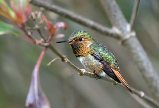 IMG_0634 Scintellant Hummingbird