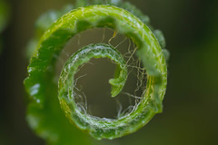 Awakening#2 (Barrie T) Tags: home garden fern spiral macro green