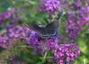 Needing a butterfly (KsCattails) Tags: botanicalgarden butterfly butterflybush garden kscattails nature overlandparkarboretum redspottedpurple